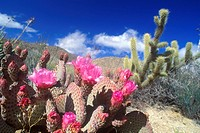 Englemann Hedgehog cactus in bloom