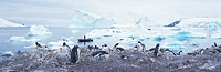Panoramic view of Gentoo penguins with chicks Pygoscelis papua, glaciers and icebergs in Paradise Harbor