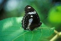 Close-up of black butterfly, Coconut Creek (thumbnail)