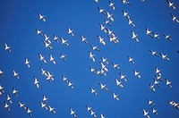 Flock of pelicans in Flight