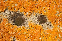 Ancient orange lichens growing on rocks