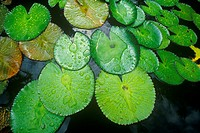 Lily pads in garden