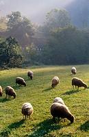 Sheep, Azkoitia. Guipuzcoa, Euskadi, Spain