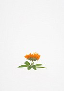 Marigold flower and verbena leaves
