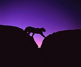 AFRICAN LEOPARD Panthera pardus crossing rocks at sunset, Namibia