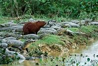 CAPYBARA & SPECTACLED CAIMAN Hydrochoerus hydrochaeris & Caiman crocodilus Pantanal, Mato Grosso, southern Brazil