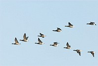 Brent geese, Branta bernicla, small group flying in vee formation, Norfolk, UK, December