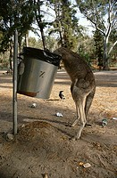 EASTERN GREY KANGAROO Macropus giganteus scavenging from rubbish bin Victoria, Australia