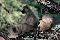 CHACMA BABOON pair with young Papio ursinus Luangwa National Park, Zambia