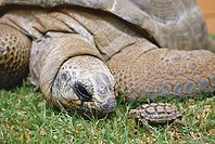 ALDABRA TORTOISE head detail Geochelone gigantea with SPECKLED ROADWALKER Homopus signatus