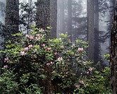 Rhododendrons in a forest, Redwood National Park, California, USA