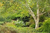 White_barked Himalayan Birch w/ Royal Fern beneath (Betula utilis var. jacquemontii; Osmunda regalis). Van Dusen, Vancouver, BC.