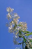 bindweed, Convolvulus floridus, winds hoist, plant, blossoms, flourish, sky, s