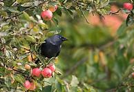 A Jackdaw Corvus monedula