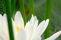 White water lily, close-up
