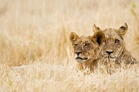 Africa, Botswana, Lioness and cub