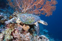 Green turtle Chelonia mydas underwater view