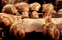 Close-up of snails eating