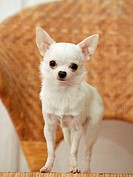 Chihuahua on rattan furniture