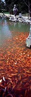 School of Goldfish Carassius Auratus swimming in water, China