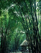 Gazebo surrounded by bamboo trees, Chengdu, China