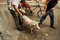 Pig Street People Bike Rain Cable caught Man Men Cable Leash Sow House pig slaughter wet Street Bike off transportation