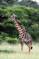 Giraffe (Giraffa camelopardalis). Lake Ndutu, Serengeti, Tanzania, Africa