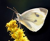 Cabbage white, Pieris rapae. Wash Co., MI. USA