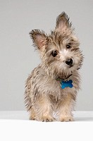 This stock photo shows a female Cairn Terrier dog, full body. It´s slightly turned head and direct eye contact make a cute expression. Cairn terrier d...