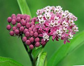 Swamp Milkweed. Asclepias Incarnata. Michigan, USA.