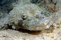 Crocodile Fish (Cymbacephalus beautforti). Mabul Island, Malaysia. Celebes Sea.