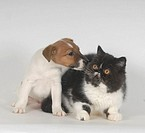 fox terrier, exotic cat