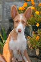 ibiza hound dog