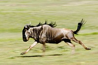 Wildebeest, Gnu (Connochaetes taurinus). Serengeti, Tanzania, Africa