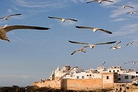 Morocco, Essaouira, seagulls in flight over coastline