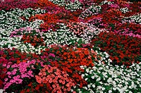 This is a flower bed of Impatiens  The flowers range in color from white to red and pink