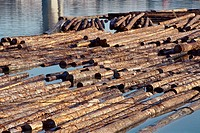 Felled Logs Floating on the Water