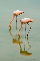 Two greater flamingoes Phoenicopterus ruber feeding in water
