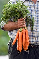 Senior man holding bunch of carrots in vegetable garden, front view, close-up, mid-section