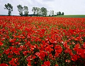 A field of poppies in the Lubelski region of Poland