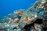 Hawaii, Two Green Sea Turtles Chelonia mydas on colorful coral reef