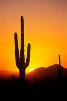 Saguaro cactus, Scottsdale. Arizona, USA