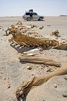 Sudan, Camel skeleton in the desert