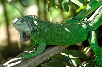 Costa Rica, Caribbean coast, Bri Bri Indian reserve, green iguana