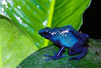 Blue Poison Dart Frog (Dendrobates azureus). Rainforest. Suriname