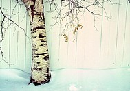 Poplar tree in snow