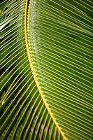 Hawaii, Closeup of a green palm leaf (thumbnail)