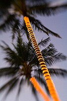 Electric lights wrapped around palm tree trunks in the fading light of dusk