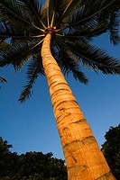 View from below of palm tree in bright blue sky, detail of trunk