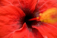 Close-up of red hibiscus, focus on center, stamen blurred